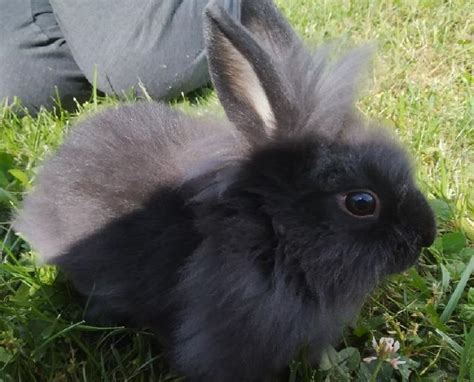 Male lapin 【 ANIMAUX Juillet 】 | Clasf