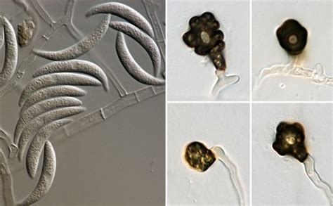 Fungal infection strategy lies in the genes — KNAW