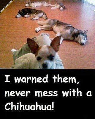 I Has A Hotdog - chihuahua - Page 5 - Funny Dog Pictures