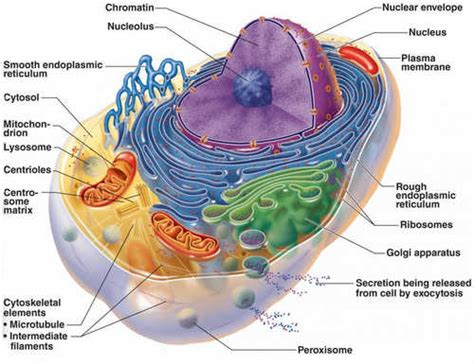 Human Cell - Parts, Diagrams, Functions, Types and Atlas
