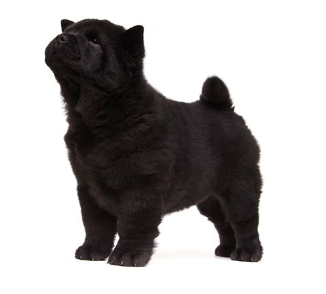 Chow Chow | Dogs | Breed Information | Omlet