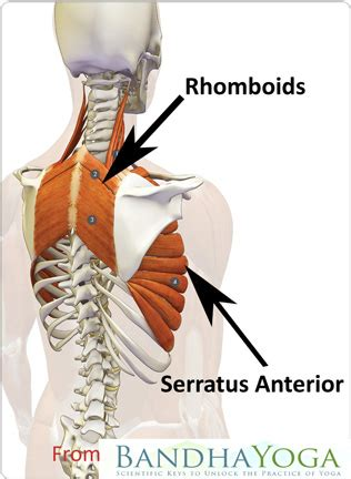 The Most Neglected Muscle During Exercise: The Serratus
